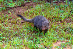 Wild ruddy mongoose Royalty Free Stock Images