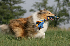 Wild running collie holding a dogtoy. Portrait of a wild running long-haired collie dog holding a dogtoy in its snout Stock Image