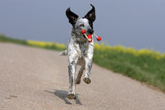 Wild running dog holding a dogtoy. Portrait of a wild running white dog holding a red dogtoy in its snout royalty free stock images