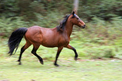 Wild running horse Stock Images