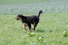 Wild running hovawart dog Royalty Free Stock Images
