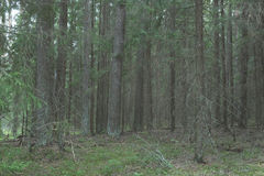 Wild russian pine forest Royalty Free Stock Image