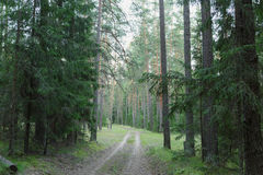 Wild russian pine forest Stock Photos