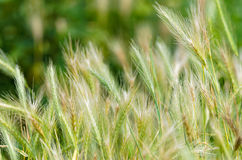 Wild rye Stock Photo