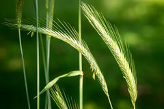 Wild rye - secale vavilovii Royalty Free Stock Photography