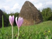 Wild saffron flower Stock Photography