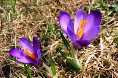 Wild saffron flowers Royalty Free Stock Images