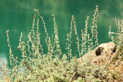 Wild sage Stock Photography
