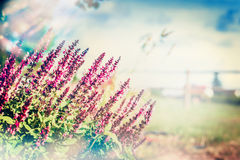 Wild sage blooming on blurred nature background Stock Image