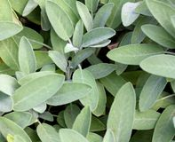Wild Sage Green leaves Royalty Free Stock Photo
