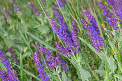 Wild sage in spring field Royalty Free Stock Images