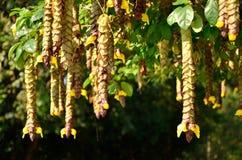 Wild Sage tree Royalty Free Stock Photos