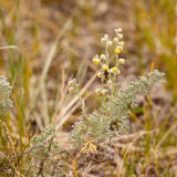 Wild Sage Wormwood Artemisia figida yellow flower Stock Photo
