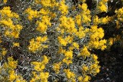 Wild Sage Yellow FLowers Sierra Nevada Mountains. Wild sage and yellow flowers in Sierra Nevada Mountains Stock Photography