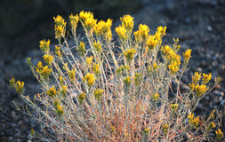 Wild Sage Yellow FLowers Sierra Nevada Mountains. A beautiful sage plant with yellow flowers in the Sierra Nevada Mountains Royalty Free Stock Photography
