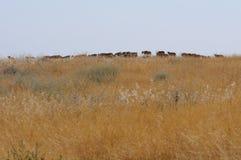Wild Saiga antelope herd in Kalmykia steppe Stock Photo