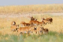 Wild Saiga antelope herd in Kalmykia steppe Stock Photos