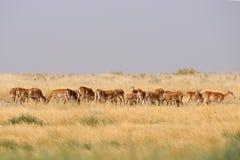 Wild Saiga antelope herd in Kalmykia steppe Royalty Free Stock Image