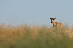 Wild  Saiga antelope in Kalmykia steppe Royalty Free Stock Image