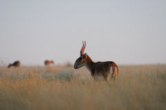 Wild Saiga antelopes early morning in steppe. Critically endangered wild Saiga antelopes (Saiga tatarica) in morning steppe. Federal nature reserve Mekletinskii Stock Image