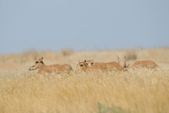 Wild Saiga antelopes in Kalmykia steppe. Critically endangered wild Saiga antelopes (Saiga tatarica) in steppe. Federal nature reserve Mekletinskii, Kalmykia Stock Images