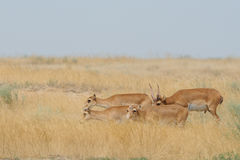 Wild Saiga antelopes in Kalmykia steppe. Wild Saiga antelopes (Saiga tatarica) in morning steppe. Federal nature reserve Mekletinskii, Kalmykia, Russia, August Stock Image