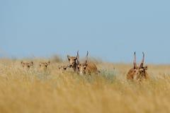 Wild Saiga antelopes in Kalmykia steppe. Wild Saiga antelopes (Saiga tatarica) in morning steppe. Federal nature reserve Mekletinskii, Kalmykia, Russia, August Stock Photography