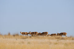 Wild Saiga antelopes in morning steppe. Wild Saiga antelopes (Saiga tatarica) in morning steppe. Federal nature reserve Mekletinskii, Kalmykia, Russia, August Royalty Free Stock Photo