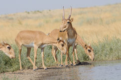 Wild Saiga antelopes near the watering place in the morning Stock Photography