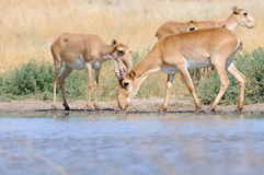 Wild Saiga antelopes near the watering place in the steppe Royalty Free Stock Image
