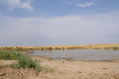 Wild Saiga antelopes near watering in steppe Royalty Free Stock Image