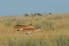 Wild Saiga antelopes pair in Kalmykia steppe. Critically endangered wild Saiga antelopes (Saiga tatarica, male and female) in steppe. Federal nature reserve Stock Image