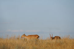 Wild Saiga antelopes pair in Kalmykia steppe. Critically endangered wild Saiga antelopes (Saiga tatarica, male and female) in steppe. Federal nature reserve Stock Photography