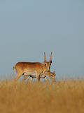 Wild Saiga antelopes pair in Kalmykia steppe. Critically endangered wild Saiga antelopes (Saiga tatarica, male and female) in steppe. Federal nature reserve Stock Photo