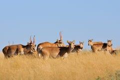Wild Saiga antelopes in steppe. Critically endangered wild Saiga antelopes (Saiga tatarica) in steppe. Federal nature reserve Mekletinskii, Kalmykia, Russia Royalty Free Stock Photos