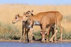 Wild Saiga antelopes in steppe near watering pond. Critically endangered wild Saiga antelopes (Saiga tatarica) at watering in steppe. Federal nature reserve Royalty Free Stock Photos