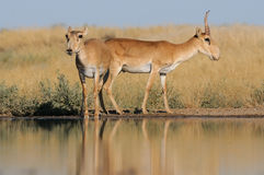 Wild Saiga antelopes in steppe near watering pond. Critically endangered wild Saiga antelopes (Saiga tatarica, male and female) at watering in steppe. Federal Royalty Free Stock Photo