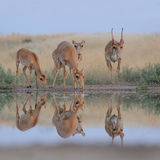 Wild Saiga antelopes in steppe near watering pond. Critically endangered wild Saiga antelopes (Saiga tatarica) at watering in morning steppe. Federal nature Royalty Free Stock Images