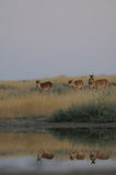 Wild Saiga antelopes in steppe near watering pond. Critically endangered wild Saiga antelopes (Saiga tatarica) at watering in morning steppe. Federal nature Stock Images