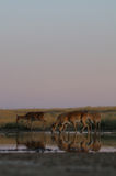 Wild Saiga antelopes in steppe near watering pond. Critically endangered wild Saiga antelopes (Saiga tatarica) at watering in morning steppe. Federal nature Stock Photos