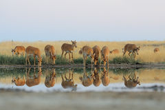 Wild Saiga antelopes in steppe near watering pond. Critically endangered wild Saiga antelopes (Saiga tatarica) at watering in morning steppe. Federal nature Royalty Free Stock Photo