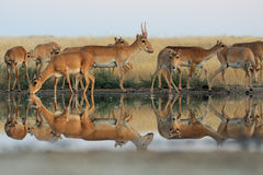 Wild Saiga antelopes in steppe near watering pond. Critically endangered wild Saiga antelopes (Saiga tatarica) at watering in morning steppe. Federal nature Royalty Free Stock Photography