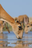 Wild Saiga antelopes at the watering place in the morning. Critically endangered wild Saiga antelopes (Saiga tatarica) at the watering place in the morning Stock Photos