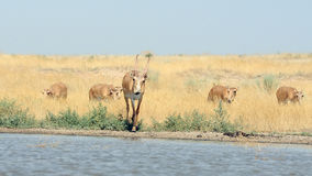 Wild Saiga antelopes at the watering place in the steppe Stock Images