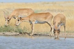 Wild Saiga antelopes at the watering place in the steppe. Wild Saiga antelopes Saiga tatarica at the watering place in the steppe. Federal nature reserve Royalty Free Stock Image