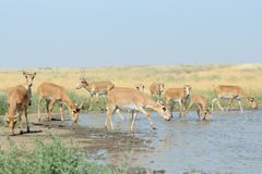 Wild Saiga antelopes at the watering place in the steppe. Wild Saiga antelopes Saiga tatarica at the watering place in the steppe. Federal nature reserve Royalty Free Stock Photography