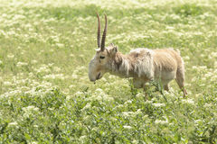Wild Saiga. Male saiga with long horns stands in the green field in Askania-Nova, Ukraine Stock Photo