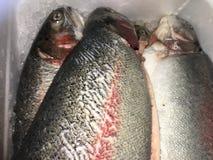 Wild salmon. Fish fresh farm Royalty Free Stock Photography