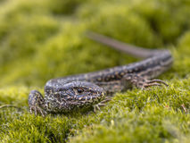 Wild Sand Lizard Stock Photography