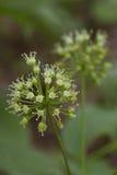 Wild sarsaparilla. In full bloom during the spring season. aralia nudicaulis Royalty Free Stock Image